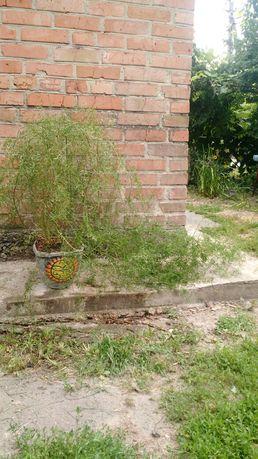 Аспарагус, комнатное растение, вазон