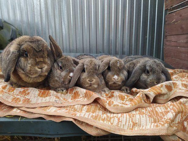 Karzełki baranki- króliczki