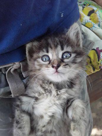 Виховані кошенята 1.5 міс