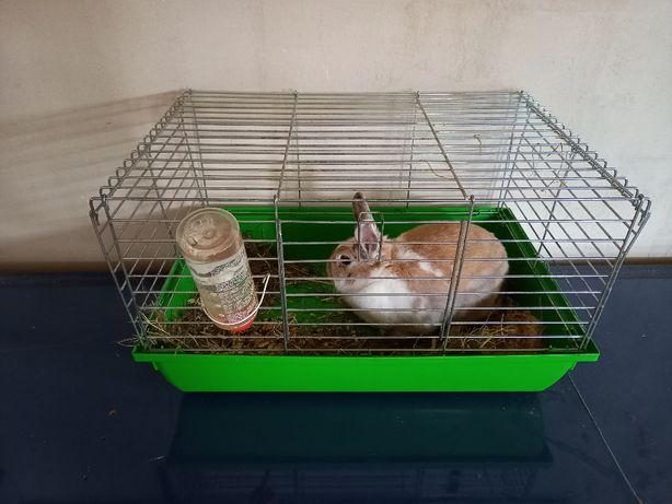 królik miniaturka z klatką samiec