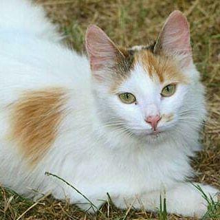 Отдам пушистую кошку трехцветку, 8 месяцев, стерилизована