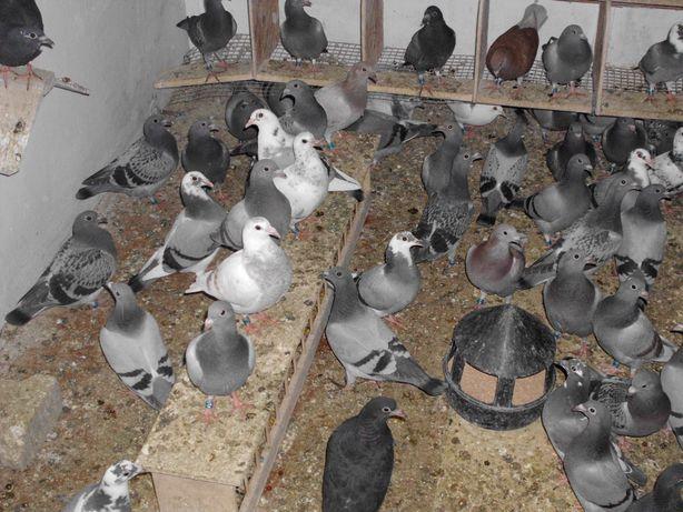 gołębie pocztowe młode 2021 rok