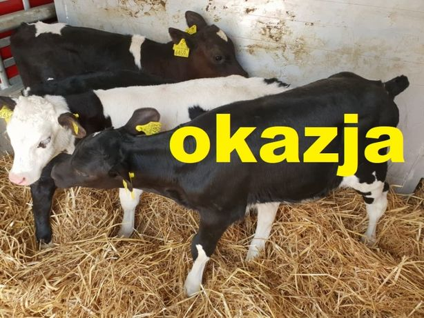 Skierniewice i okolice sprzedaz cielat Polskich