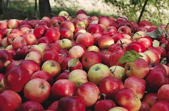 EKO jabłka gruszki NIEPRYSKANE NIENAWOŻONE samozbiór z własnego sadu