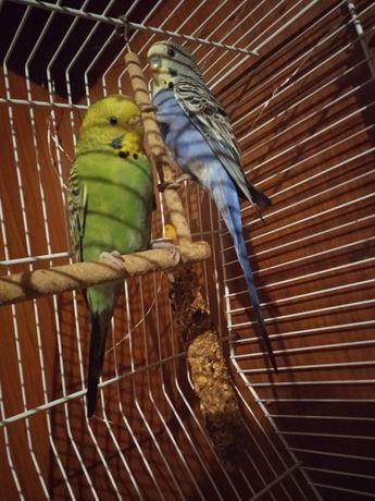 Papugi Faliste parka