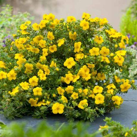 Pięciornik krzewiasty żółty , kwitnący krzew