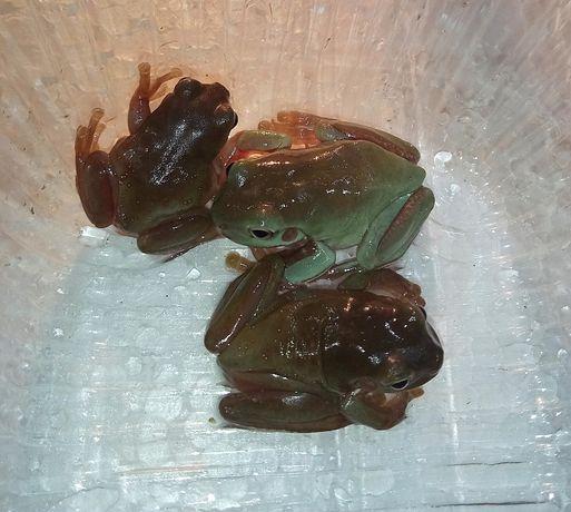 Лягушка квакша австралийская для детей Фото цены реальные