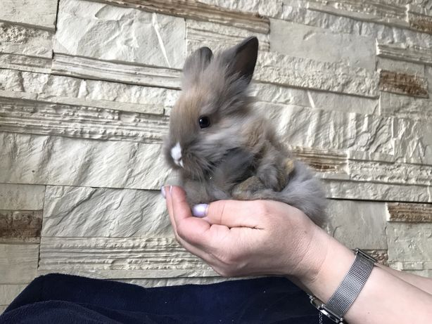 Królik miniaturka, króliczek miniaturowy z białym noskiem