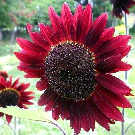nasiona Słonecznik Ozdobny 'Red Sun' – Czerwony 1 kg nasion