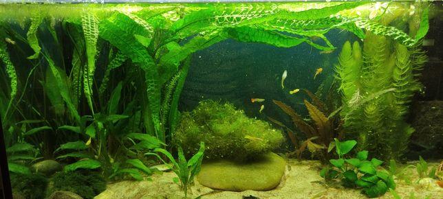 Kryptokoryna karbowana do akwarium roślinka