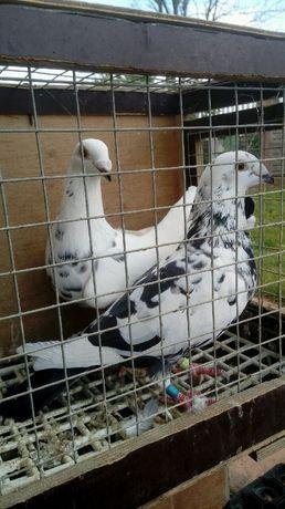 Gołębie mulimansy czarne, 2021r
