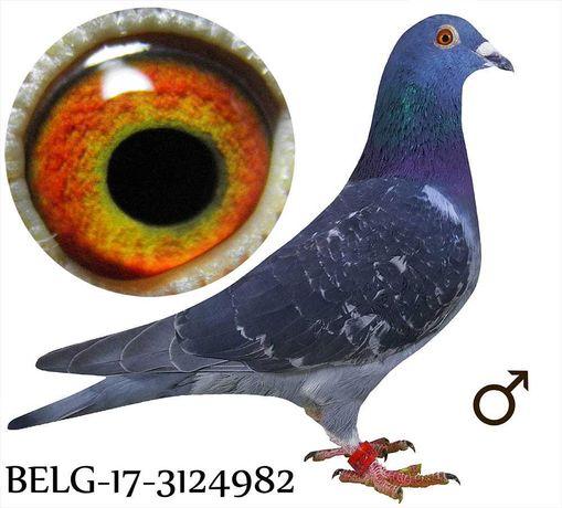 Młode 2021 para 50 Vanneste Rigole daleki dysta gołąb gołębie pocztowe