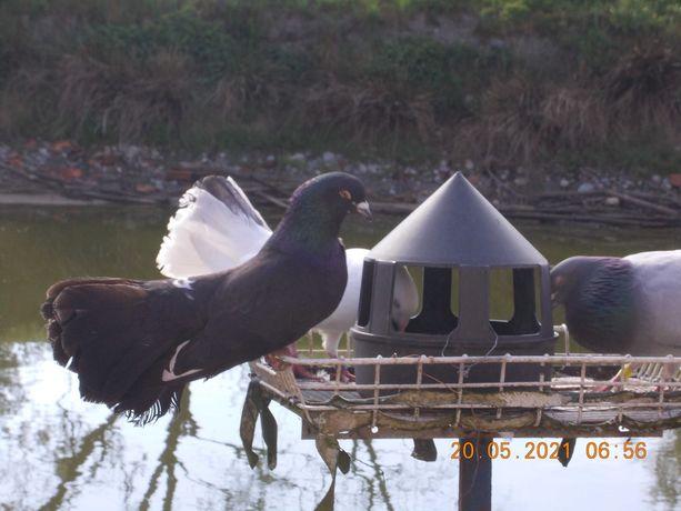 Gołębie ozdobne- pawiki
