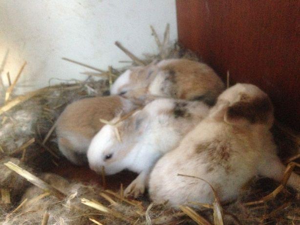 królik miniaturka króliki wybór z 20szt