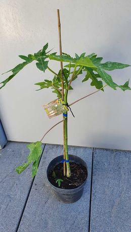 Papaya Carica  certificada