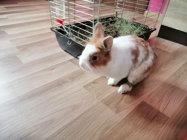 Oddam królika miniaturkę w dobre rece