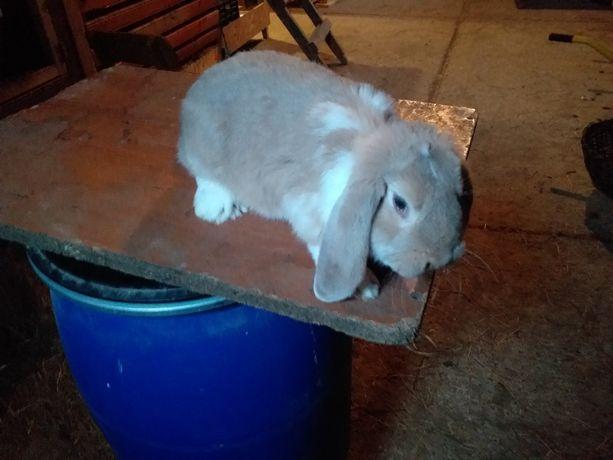Baran francuski młode króliki króliki samce i samice