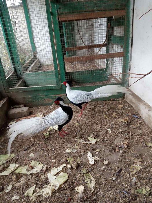 Самцы серебряного фазана Николаев - изображение 1
