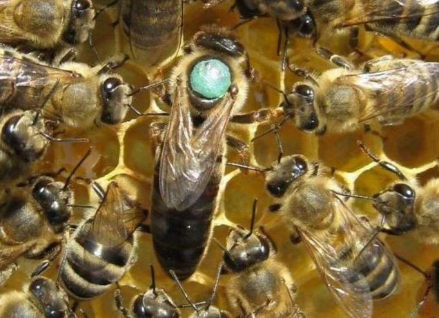 Бджолині матки Сarnik Тройзек 1075 2021 года Отправлю.