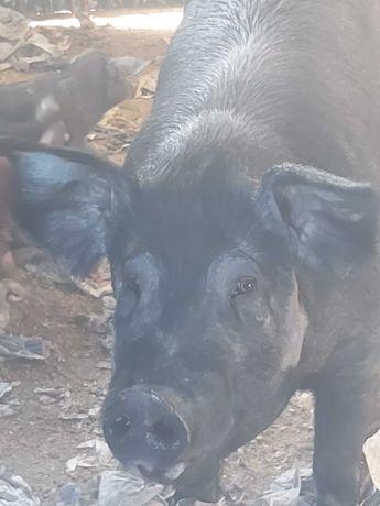Porco Ibérico puro inteiro