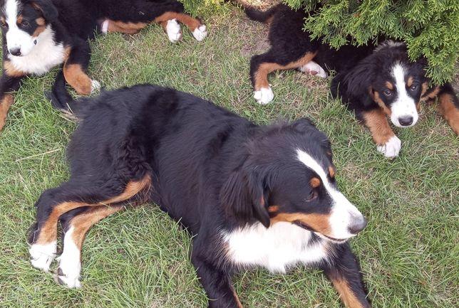 Szczenięta Rasy Berneński Pies Pasterski