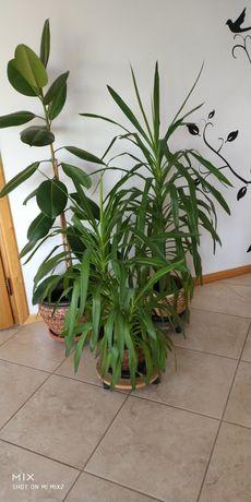 Filodendron, juki - zestaw kwiatów