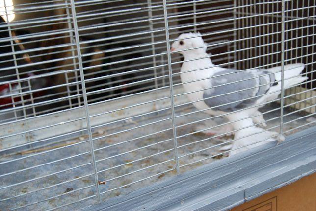 gołębie samiczka saksońska z 2021r