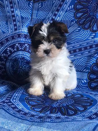 Biewer Terrier