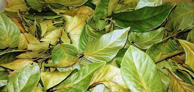 Loureiro / Louro - folhas