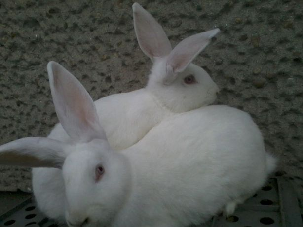 Sprzedam króliki samice