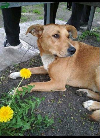 Киев, пропала собака рыжая с белым пятном на груди