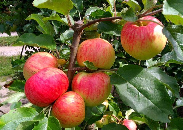 Drzewka owocowe stare odmiany