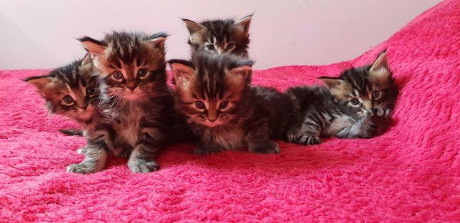 !!! zapraszamy do rezerwacji-piękne kotki Maine Coon po Championach !!