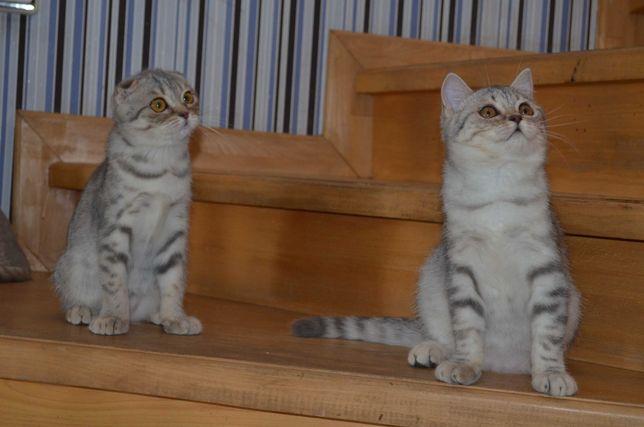 Кошечки фолд и страйт, 3,5 мес! Привиты