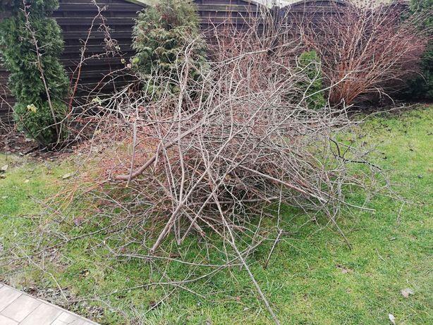 Oddam gałęzie - mirabelka