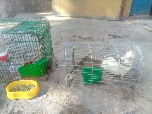 Отдам питомцев крыс домашних