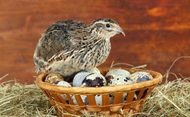 Перепелині яйця та м'ясо