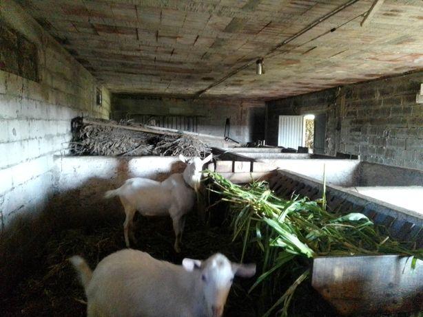 Cabras  de várias idades e bode