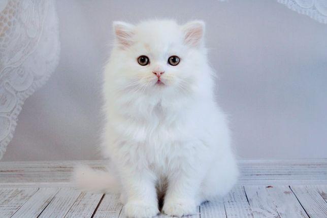 Белые элитные котята девочка Хани и мальчики Халк и Хаммер