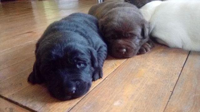 Labradory szczeniaki z rodowodem I książeczką