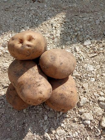 Картопля тайфун та ріпчаста цибцля