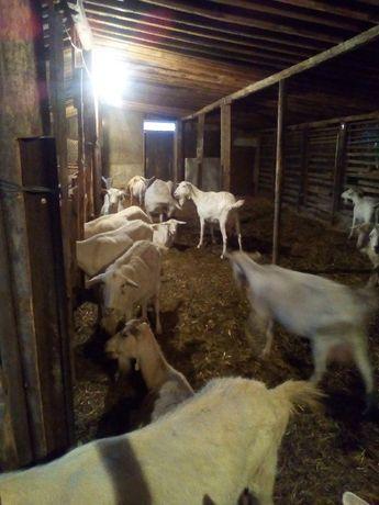 Продам зааненских коз