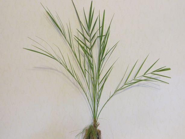 Финиковая пальма. Высота до горшка 94 см / Фінікова пальма