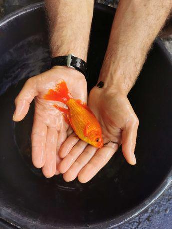 Peixe cometas de várias cores