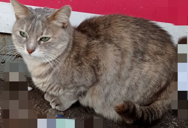 Красивая кошка стерелизована