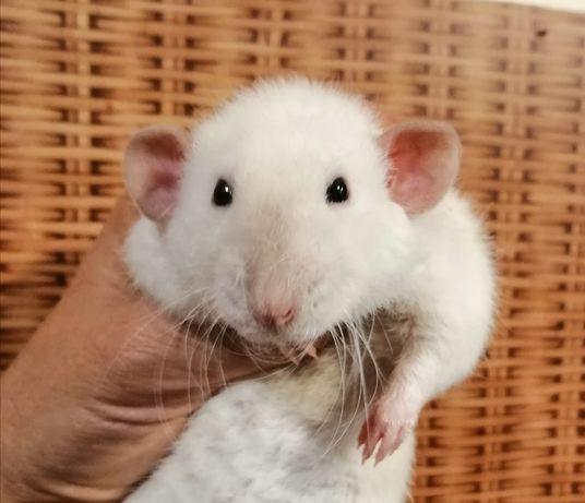 Szczurek syjamski dumbo 89 zl