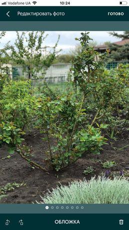 Помощь в саду по обрезке роз и декоративных кустарников