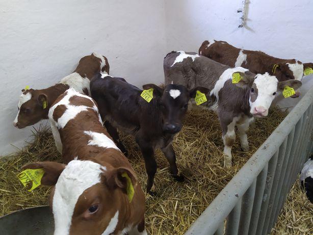Byczki mięsne cielaki Polskie