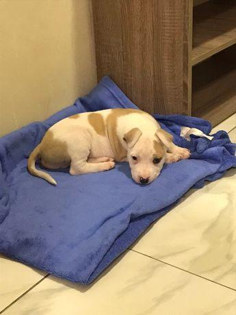 Продам собаку порода Стафф терьер