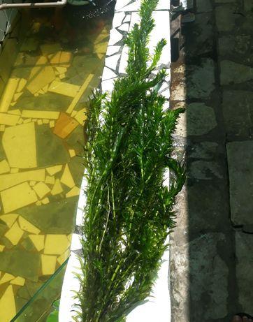 plantas elodeas 15 pes por 5 €